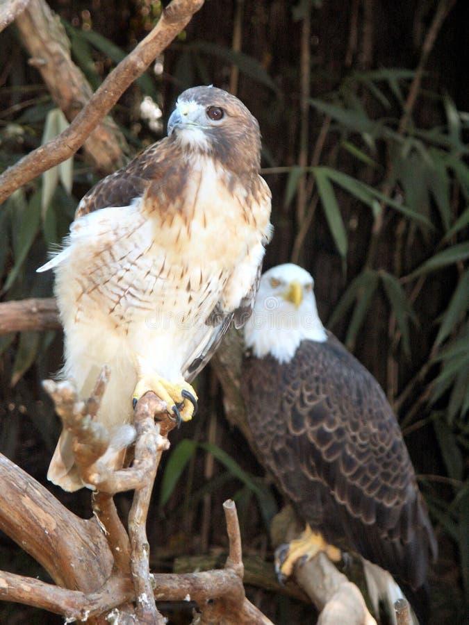 Falcão & águia fotos de stock
