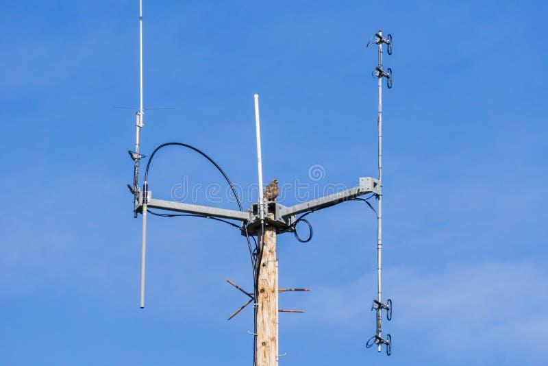 Falcão atado vermelho sobre a antena das telecomunicações, Califórnia foto de stock royalty free