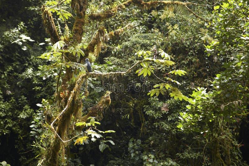 Falcão barrado, Panamá imagem de stock royalty free