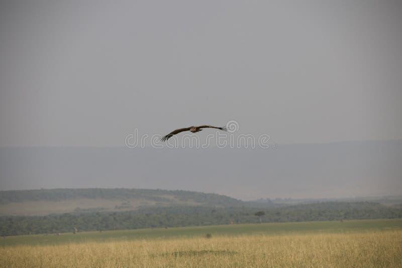Falcão bonito do voo contra um céu azul claro em África foto de stock