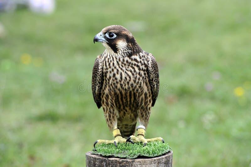 Falcão bonito treinado para caçar fotografia de stock royalty free
