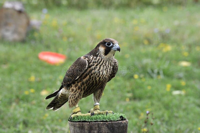 Falcão bonito treinado para caçar imagens de stock royalty free