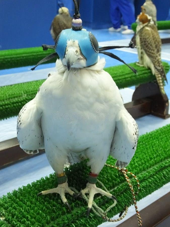 Falcão branco treinado bonito com máscara fotos de stock royalty free