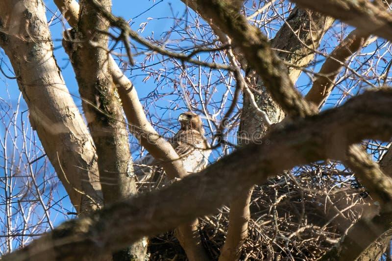 Falc?o da m?e empoleirado em seu ninho, alto acima da floresta imagem de stock