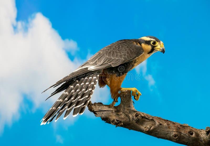 Falcão de Aplomado empoleirado com fundo do céu azul fotos de stock royalty free