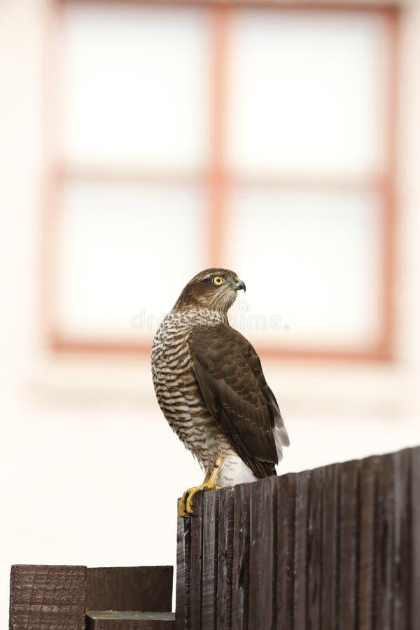 Falcão de pardal empoleirado fotografia de stock royalty free