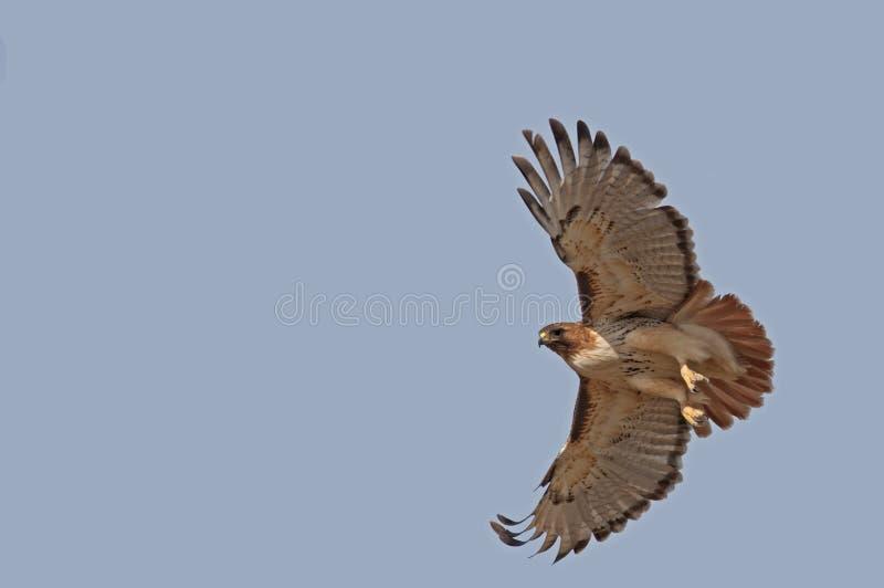 Falcão do Red-tail foto de stock