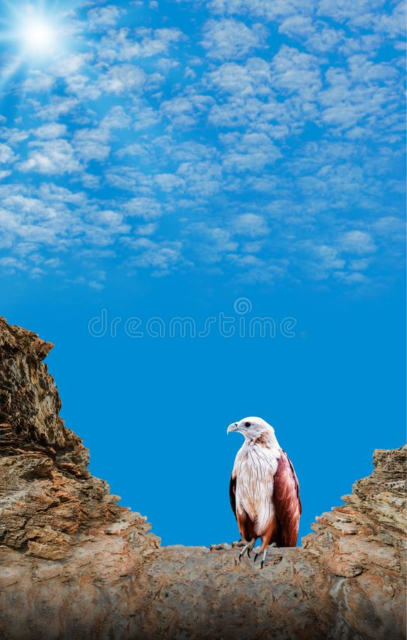 Falcão e águia, animal dos animais selvagens do pássaro do caçador fotografia de stock royalty free