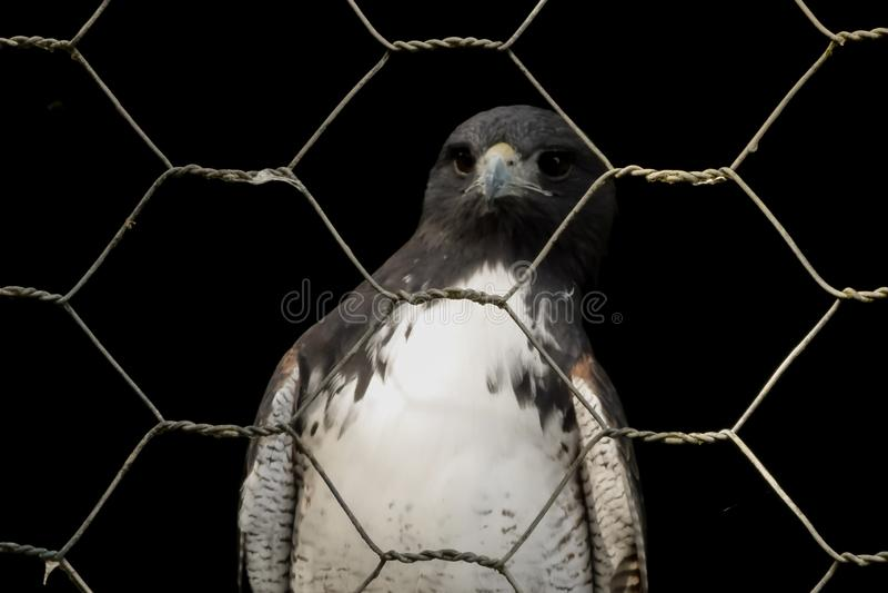 Falcão no captiveiro atrás da cerca fotos de stock