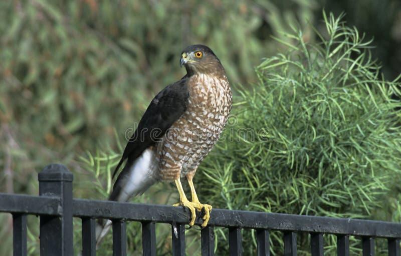 Download Falcão no quintal imagem de stock. Imagem de wildlife, evergreen - 51351