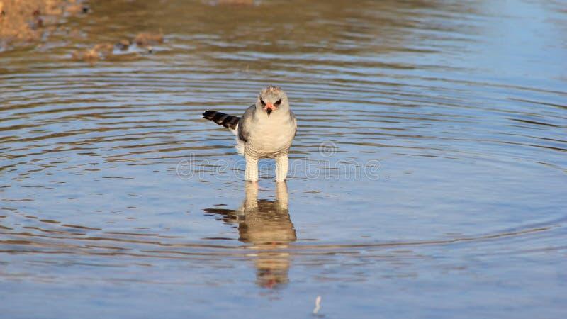 Falcão, Pale Chanting - pássaros selvagens de África - água azul perfeita imagem de stock