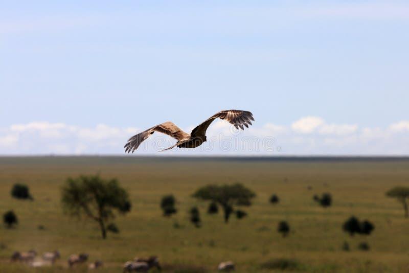 Falcão sobre planícies africanas fotos de stock
