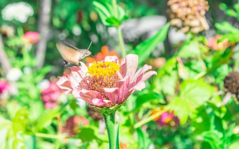 Falcão-traça do colibri fotos de stock