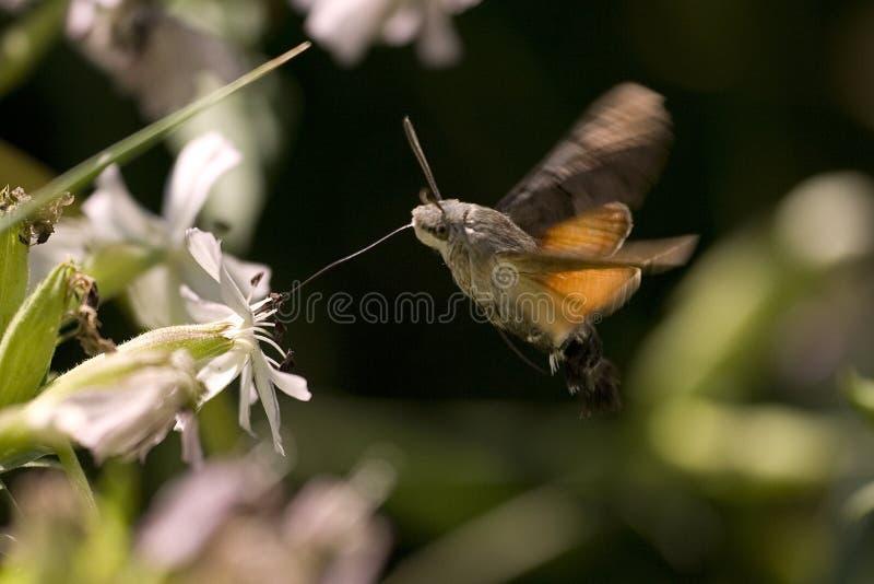 Falcão-traça do colibri foto de stock
