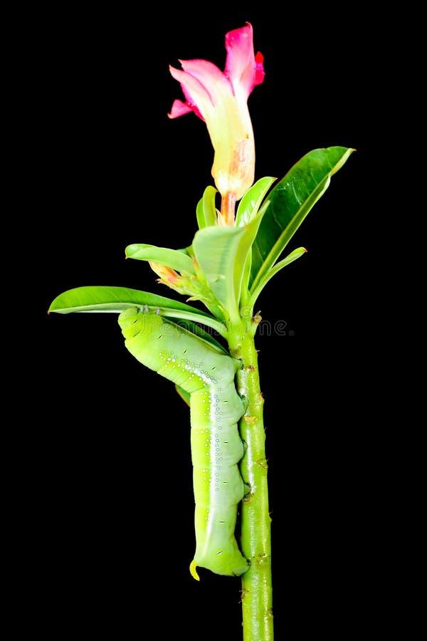 Falcão-traça do Oleander imagem de stock royalty free
