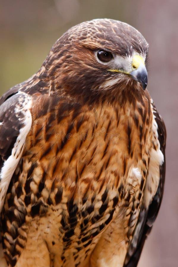 falcão Vermelho-atado com plumagem bonita foto de stock