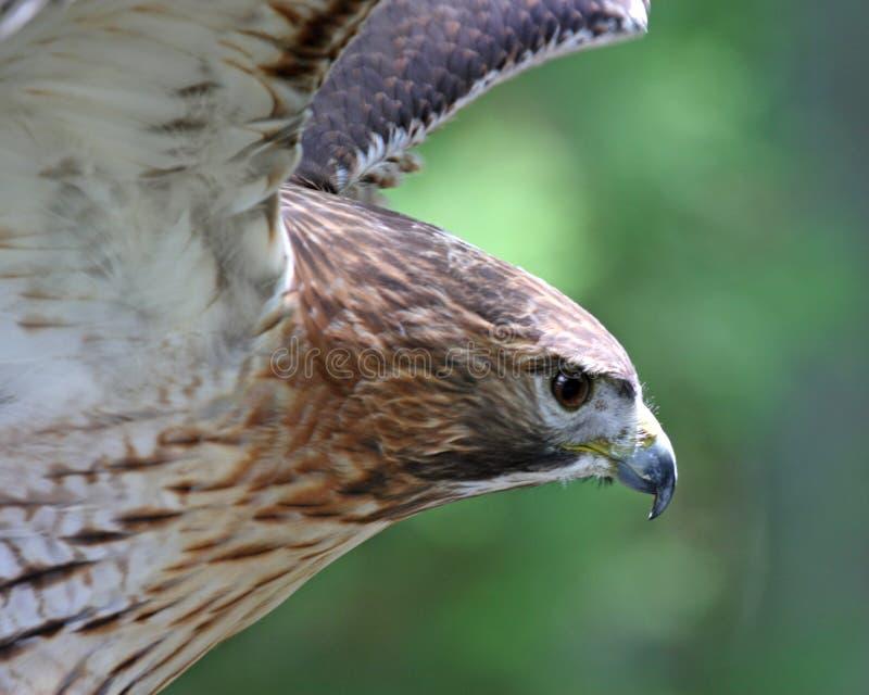 Falcão vermelho da cauda imagem de stock