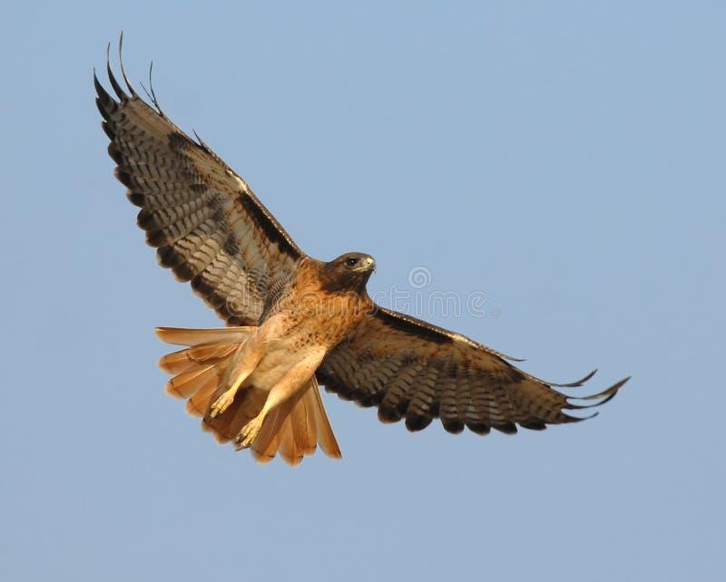 Falcão vermelho subindo da cauda