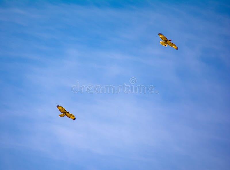 Falcões atados vermelhos em voo imagem de stock