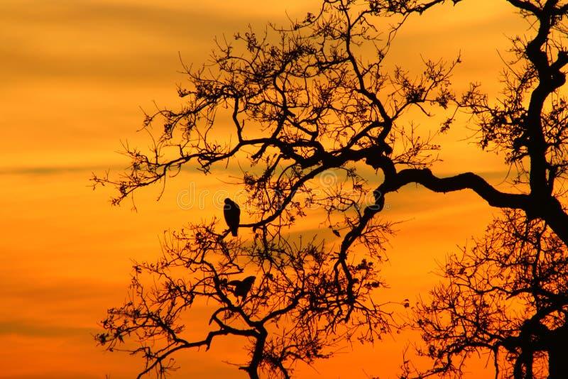 Falcões do por do sol fotografia de stock royalty free
