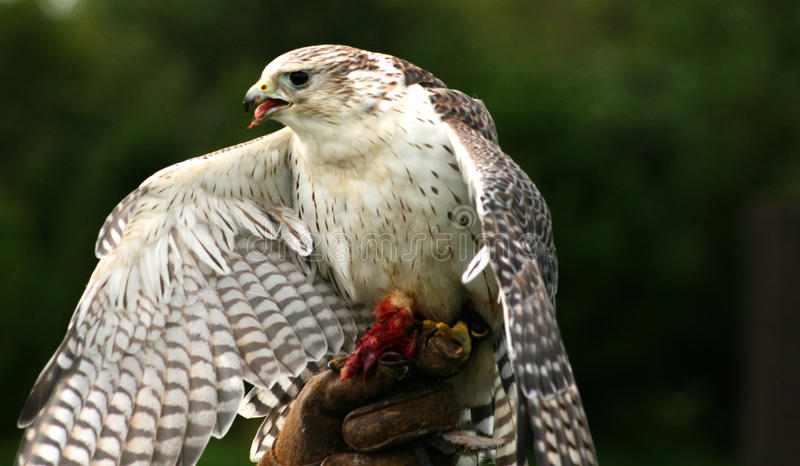 Falco fotografie stock libere da diritti