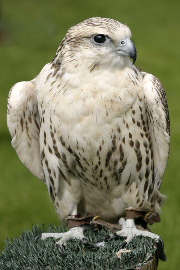 Download Falco immagine stock. Immagine di cerchi, grigio, bianco - 217837