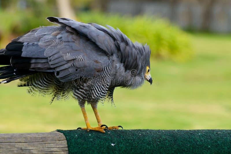 Falco africano del predatore fotografia stock libera da diritti