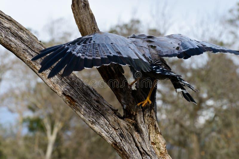 Falco africano del predatore fotografie stock