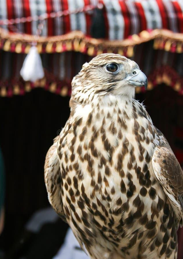 Falco arabo fotografia stock libera da diritti