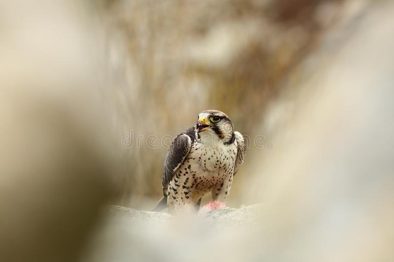 Falco biarmicus. Predator was photographed in the Czech Republic. royalty free stock photography