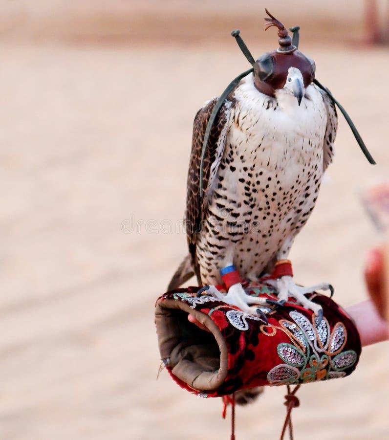 Falco Blinkered fotografia stock libera da diritti