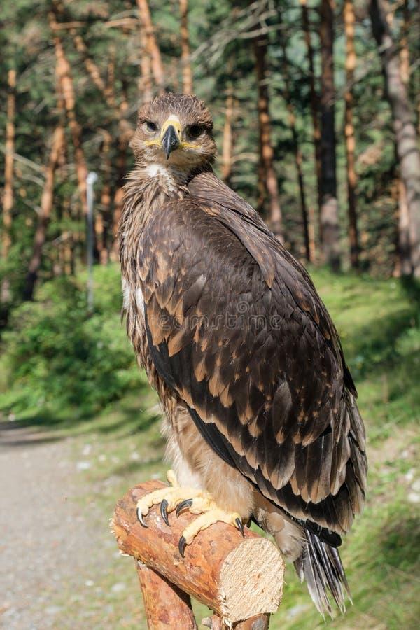 Falco cherrug, fågel av rovet royaltyfria bilder