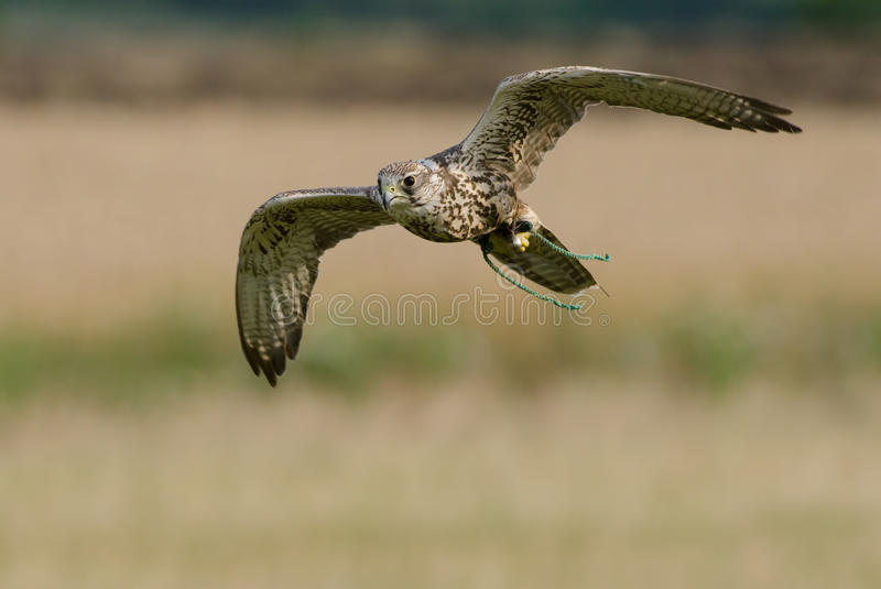 Falco cherrug. Made several attacks one of which was successful royalty free stock images