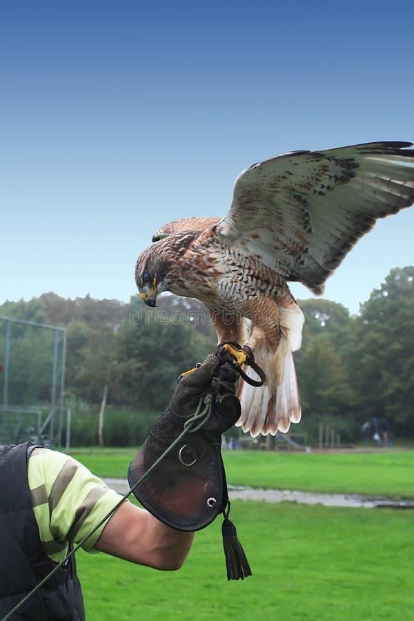 Download Falco con il cacciatore immagine stock. Immagine di concetto - 3882491