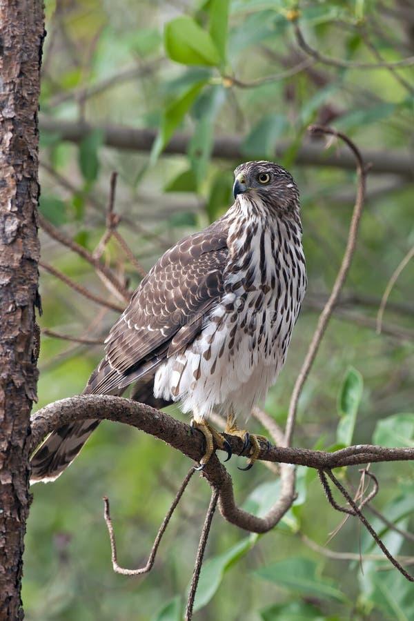Falco dei bottai a Cay Wetlands verde, Florida fotografia stock libera da diritti