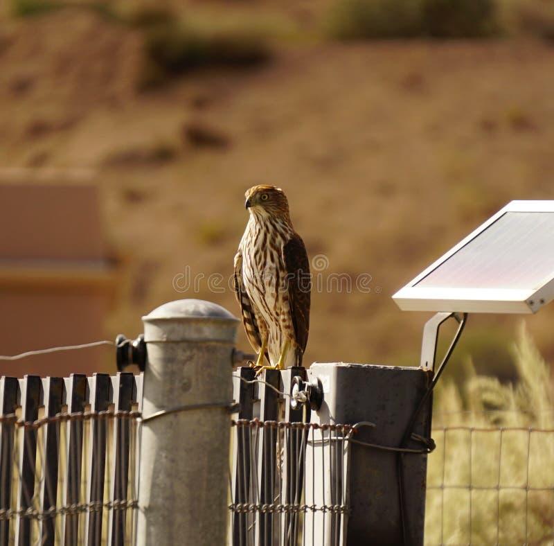 Falco del bottaio fotografia stock
