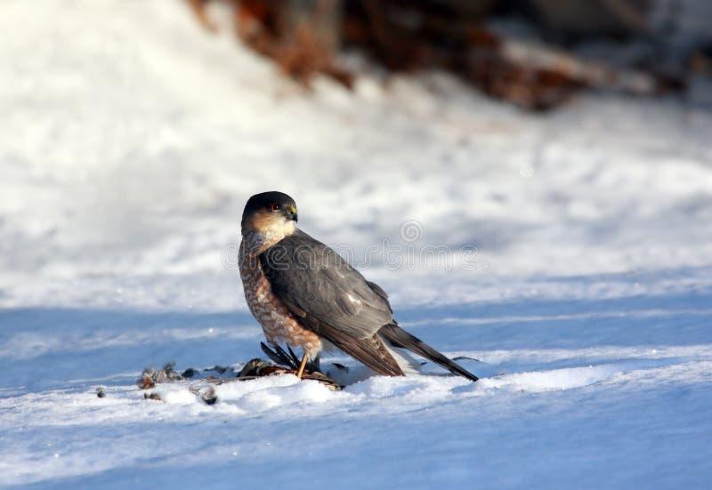 Falco del bottaio con la cattura recente fotografia stock