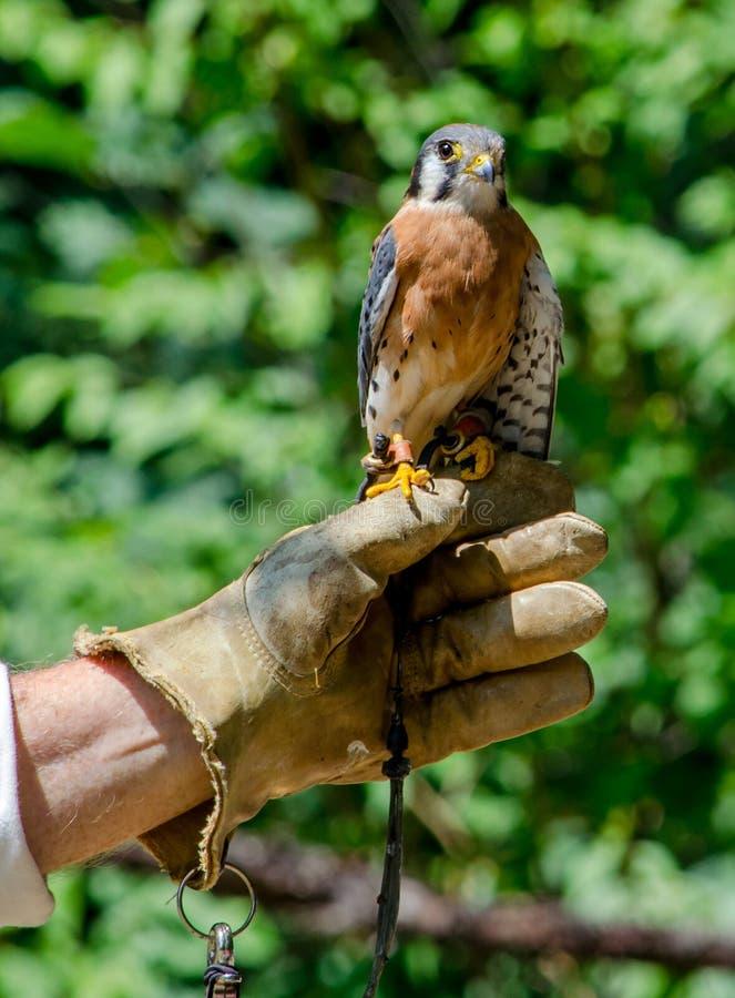 Falco del gheppio americano con l'operatore fotografia stock