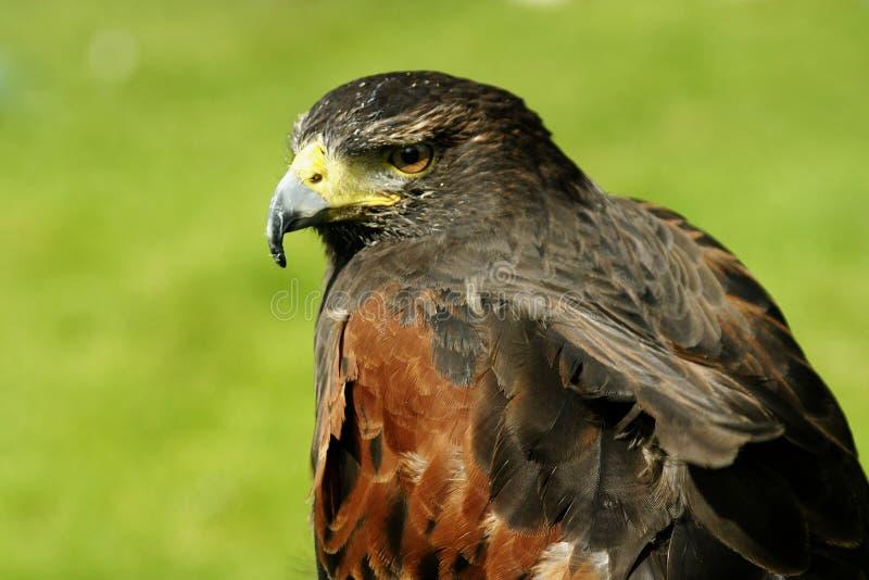 Download Falco del Harris fotografia stock. Immagine di harris, uccello - 217838