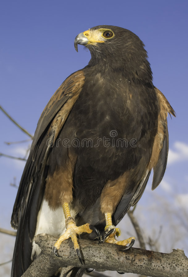 Falco del Harris (maschio) immagine stock libera da diritti