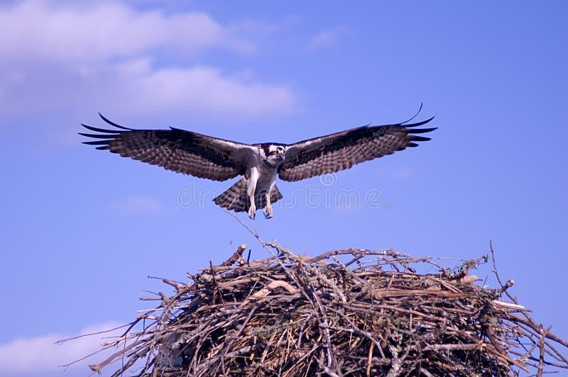 Falco del Osprey fotografia stock libera da diritti