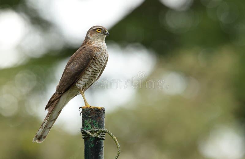 Falco del passero. fotografia stock