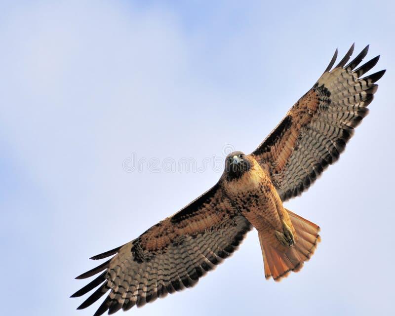 Falco del redtail fissare fotografia stock libera da diritti