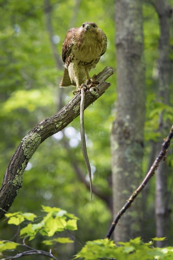 Falco del Redtail in un albero, alimentantesi un serpente di giarrettiera immagini stock libere da diritti