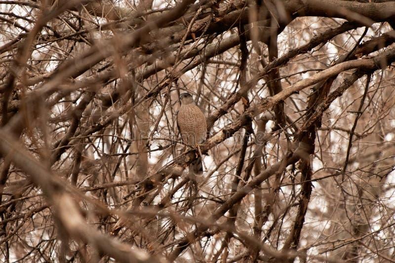 Falco del ` s del bottaio fotografie stock libere da diritti