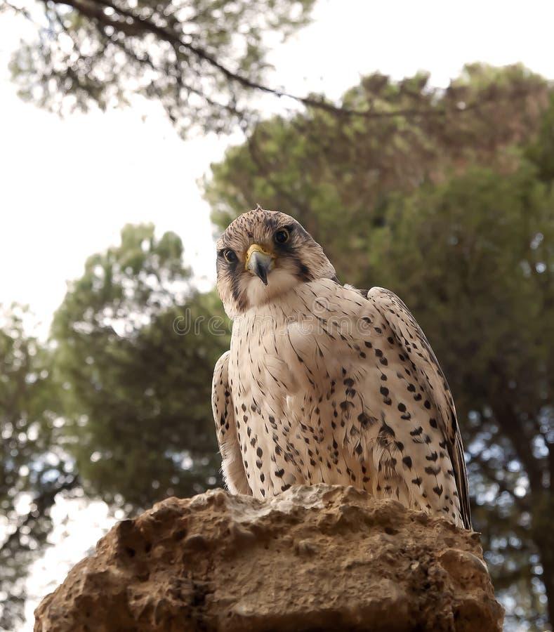 Falco dell'uccello che guarda la sua preda fotografie stock libere da diritti