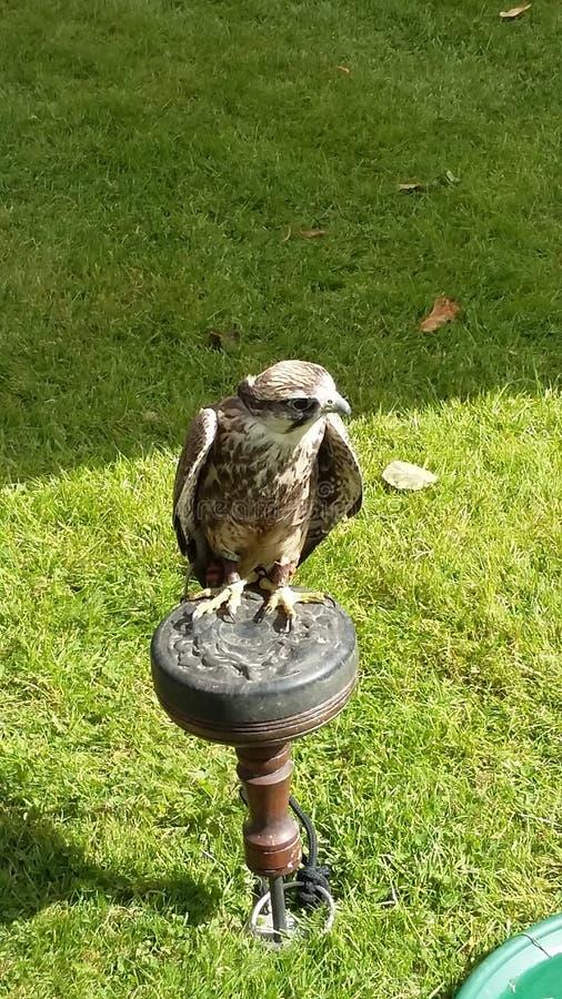 Falco della rapace fotografie stock