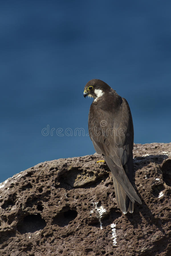 Falco della Regina fotografia stock