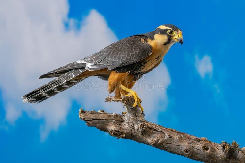 Falco di Aplomado appollaiato con il fondo del cielo blu immagini stock libere da diritti