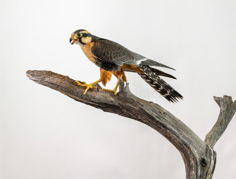 Falco di Aplomado appollaiato su fondo bianco fotografia stock